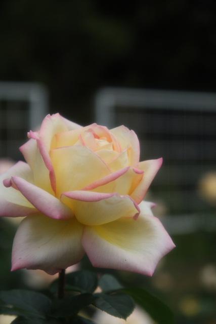 p2-08a-rose08.jpg