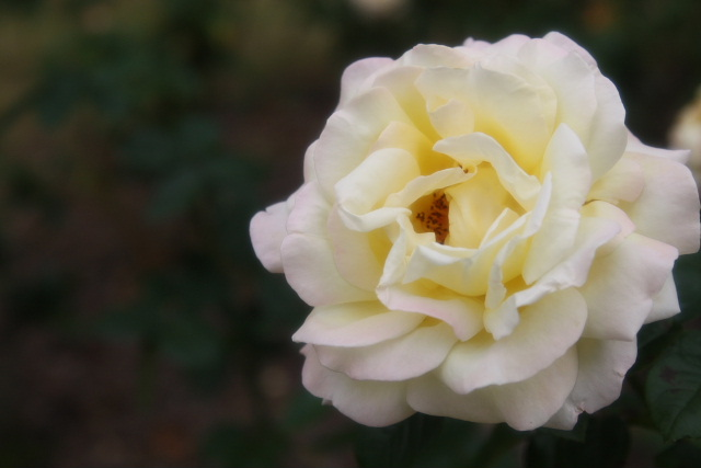 p3-08a-rose09.jpg