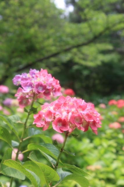 s3-08ajisai41roshi.jpg
