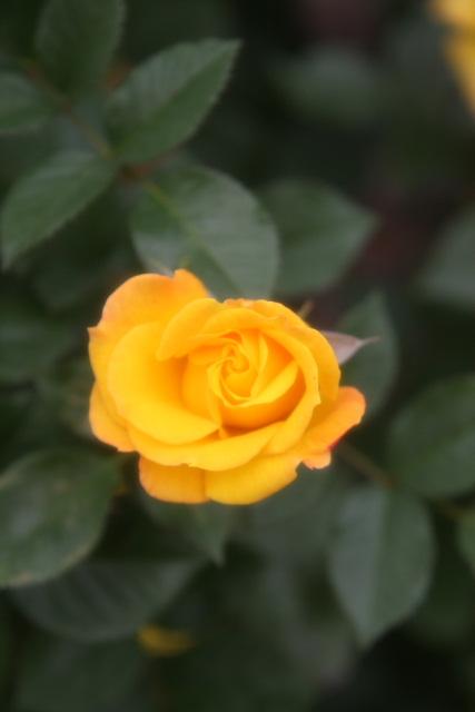 y3-08a-rose26.jpg