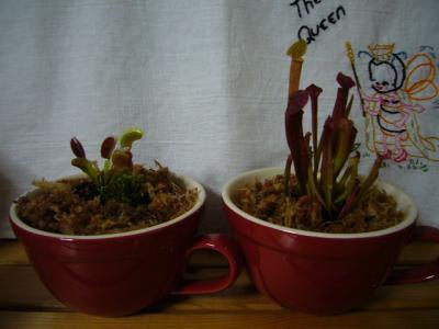 食虫植物♪