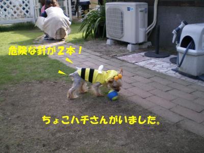 ちょこハチさん登場!