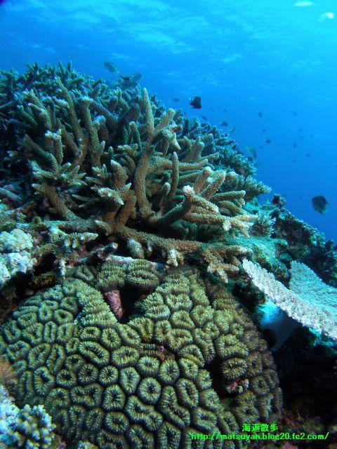 竹富南サブマリンの珊瑚2