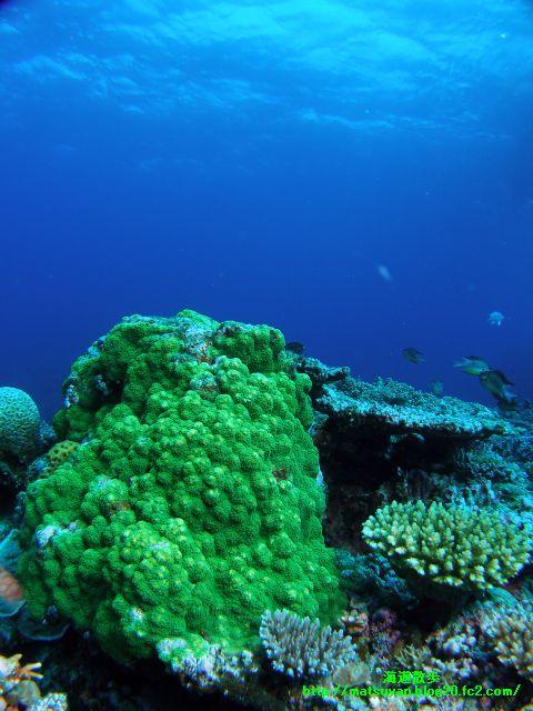 竹富南サブマリンの珊瑚3