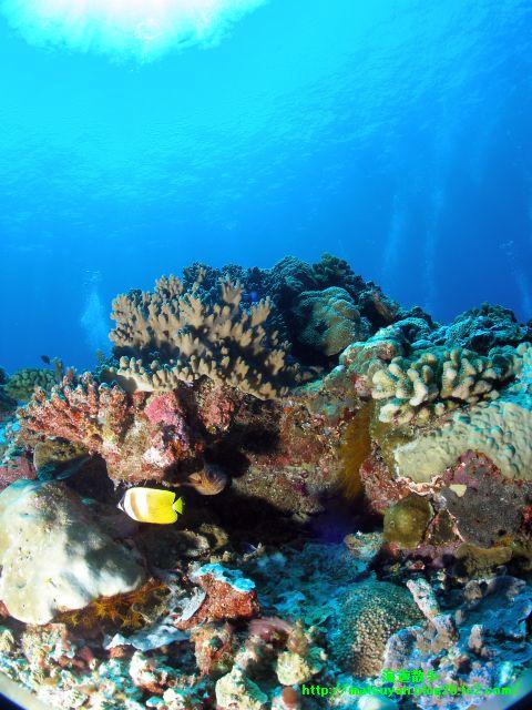 珊瑚の周りを泳ぐチョウチョウウオ