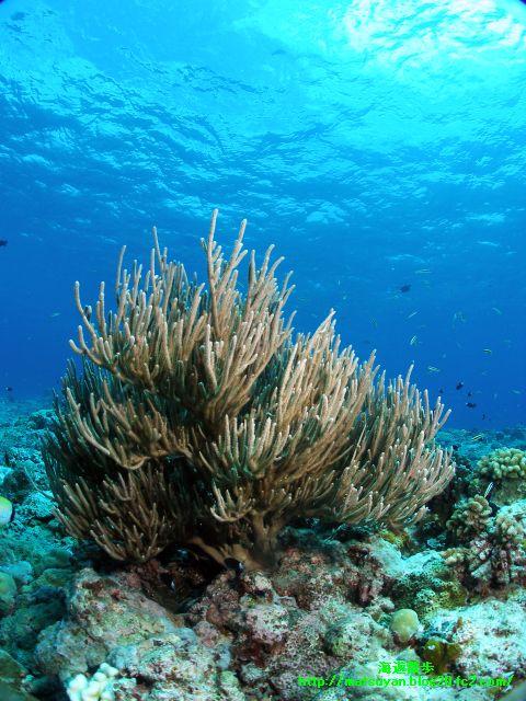 珊瑚のオブジェ
