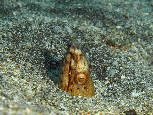ミナミホタテウミヘビ