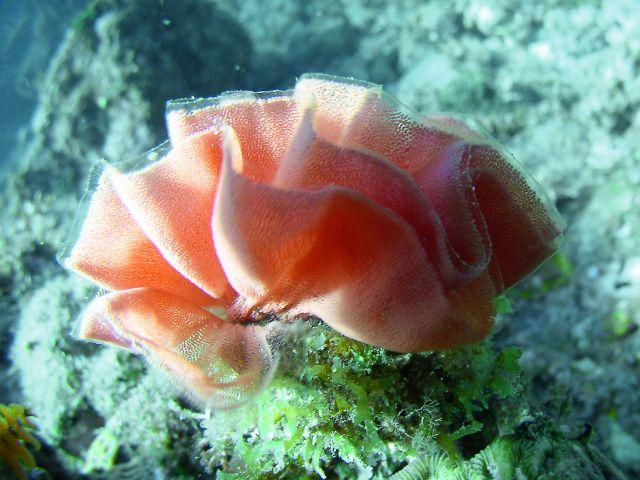 海の華 (ウミウシの卵)