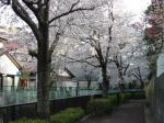 相沢川の桜