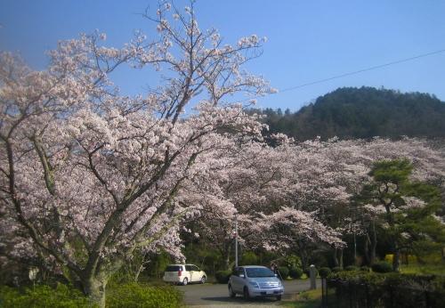 4月6日の桜2