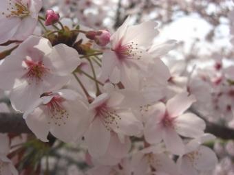 広瀬神社の桜