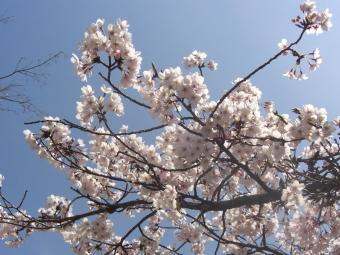 朝護孫子寺の桜