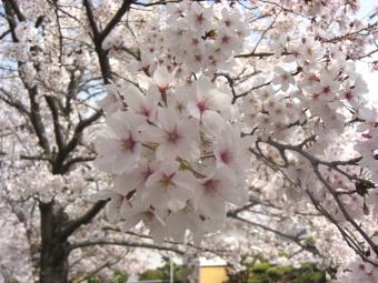 龍田大社の前の桜