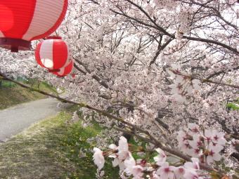 広瀬神社のサクラ