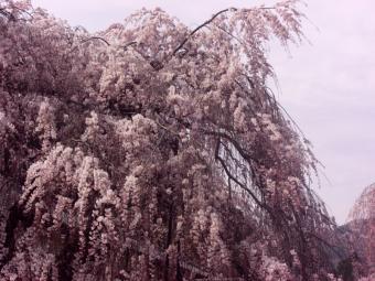 大野寺の枝垂れ桜