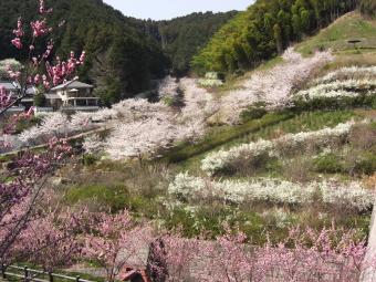高取町 上子島砂防公園 の桜