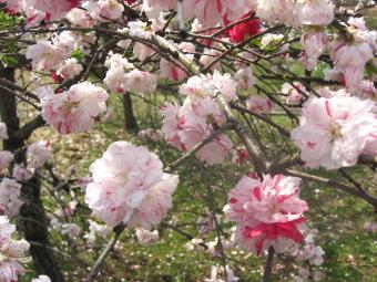 白い桃の花