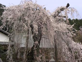 宝蔵寺のしだれ桜