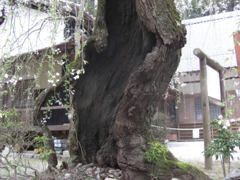 宝蔵寺のしだれ桜 親