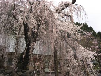 宝蔵寺のしだれ桜 親の木
