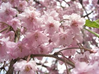 しだれ桜のアップ