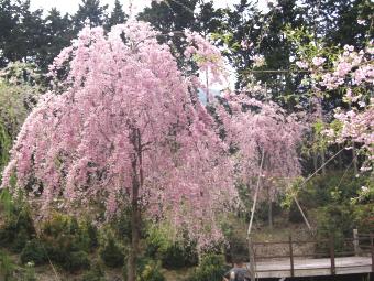 高見の桜園