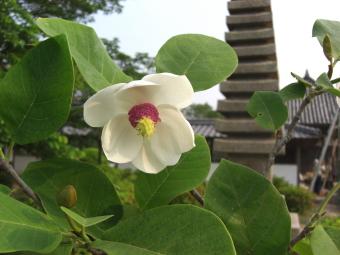 世尊寺のオオヤマレンゲ