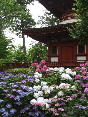 久米寺のあじさい 多宝塔