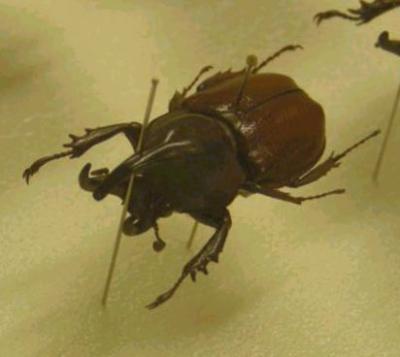 カブトムシ標本