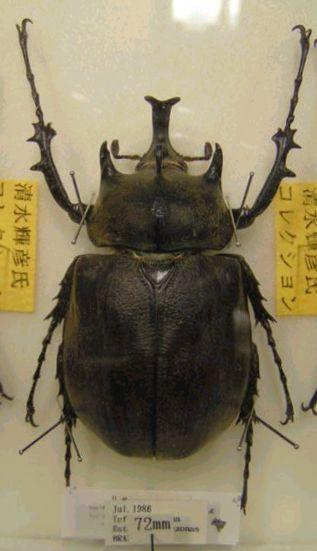 メガソマ標本