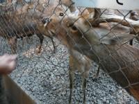 三島大社の鹿