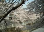 神田川の桜2006