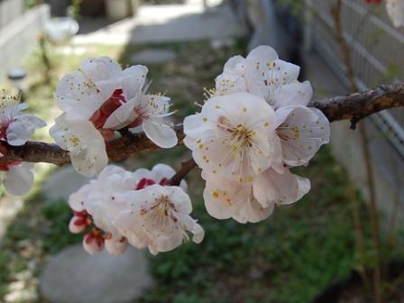 杏の花も満開