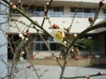 白梅開花2