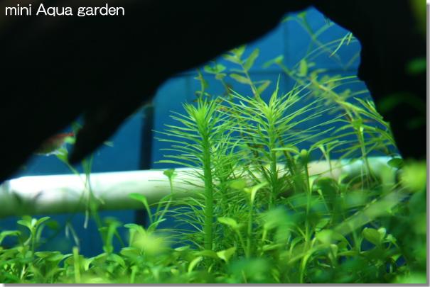 rotala_veld20080406.jpg