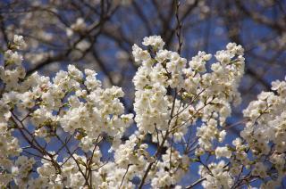 20080322 桜