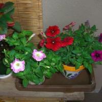 摘芯後の花2