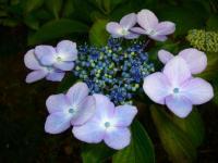 wild紫陽花