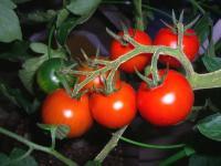 小ぶりトマト