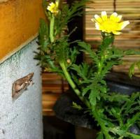 春菊とサナギ
