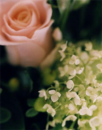 アナベル そして薔薇
