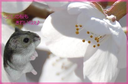 さくらっちもお花見ちゅ~♪