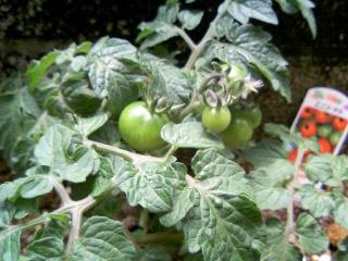 ミニトマト赤