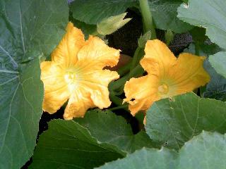 カボチャの雄花