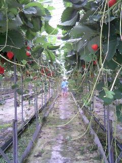 イチゴ収穫中②