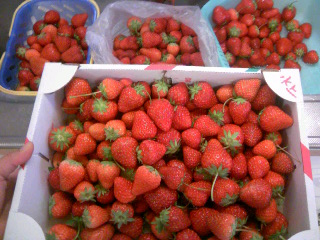 イチゴ収穫②