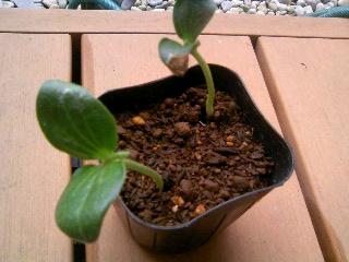 オバケカボチャの芽Ⅱ
