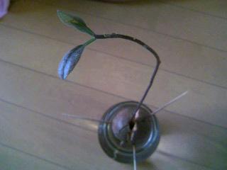 アボカドの芽②