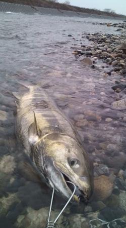 いそべの若大将 荒川 鮭釣り