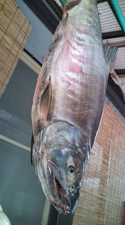 いそべ 村上 荒川 鮭釣り 塩引き